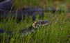 Hady v záhrade. Ako ich odpudíte?