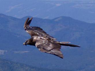 Na Slovensko priletel vzácny sup Adonis a vtáky zo Sibíri