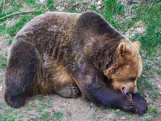 Problémy s medveďmi v Tatrách sa skončili, zvieratá zaspali