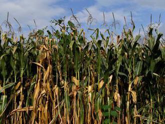Polícia pozná totožnosť mŕtveho z kukuričného poľa