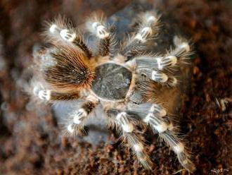 Zámer chovať nebezpečné pavúky či plazy obec posudzovať nebude