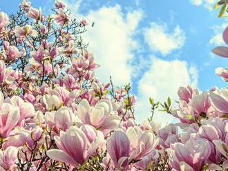 Úžasná krása nejstarších květin     magnolií