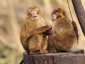 Maroko chce zachrániť makaka magota pred vyhynutím