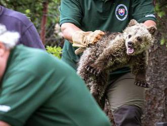 Počítanie medveďov a vlkov sa zmenilo na chaos