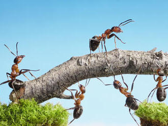 Mravce dokážu zo svojich tiel postaviť Eiffelovku