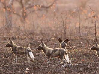 Africké psy hlasujú kýchaním