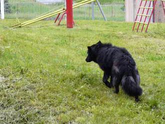 Túlavý pes dohrýzol 10-ročné dievčatko v obci na južnom Slovensku