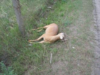 Vodiča po zrážke s jelenicou zrazilo pod Soroškou vlastné auto