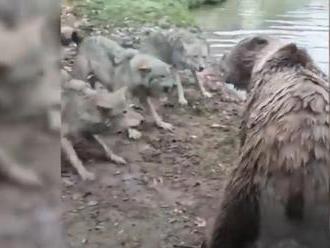 Návštevníkov zoo šokoval krvavý incident: Medvede pred ich očami roztrhali vlčicu