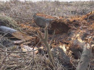 Podnikateľ mohol vyrúbať päť stromov, no padlo ich až 160