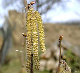 Alergici majú horšie dni, v ovzduší prudko vzrástlo množstvo peľu