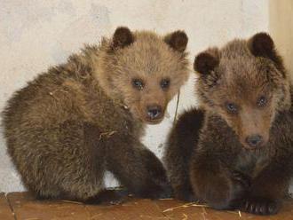 Ochranári zachránili v Malej Fatre štyri opustené medvieďatá