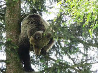 Štátni ochranári z Národného parku Malá Fatra tento rok zachránili štyri opustené medvieďatá