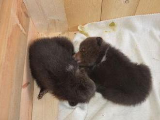 Medvedie bábätká rastú, nie sú na hranie