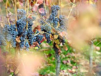 Slovenskí vinári napredujú, o ich vína je vo svete záujem