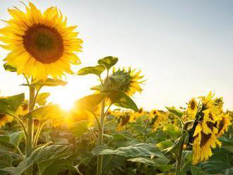 Slunečnicová semínka: Zdraví ukryté v půvabu květiny