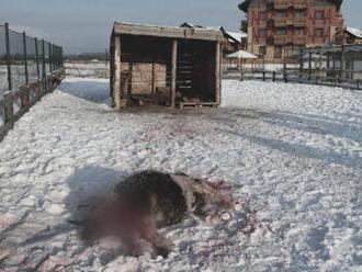 Hrôza vo Veľkej Lomnici: Svorka psov roztrhala poníkov z apartmánového komplexu