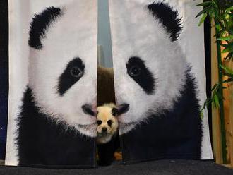 Číňan přebarvil psy, aby vypadali jako pandy. Láká tak hosty do své kavárny