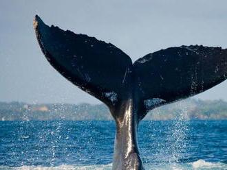 V Temži videli plávať vráskavca dlhoplutvého