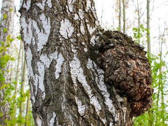 Medicinálne huby: Čaga získava liečivé látky z brezy