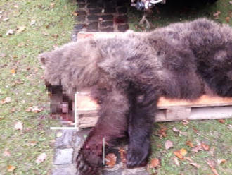 Medveď vbehol pod kolesá dodávky: FOTO Mesto Prievidza pred pár dňami varovalo obyvateľov