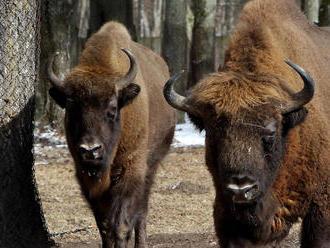 Bölényekkel népesítették be az Őrségi Nemzeti Parkot
