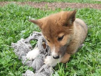 Wandi, čistokrvné šteňa psa dingo, je hviezdou Instagramu