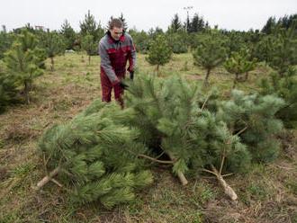 Ceny stromků jsou zhruba stejné jako loni, nejoblíbenější do 2 m