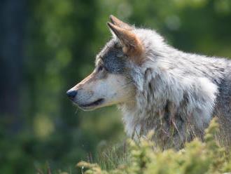 Zlínský kraj proplatí další škody způsobené vlkem a rysem
