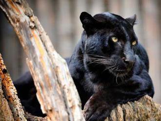 Vedci odfotili vzácneho leoparda. Po sto rokoch