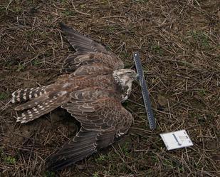 Na Slovensku ubudli vzácne dravce, môžu za to zrejme otravy