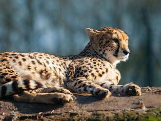 Nemocnou gepardici chtěl veterinář utratit, nakonec se uzdravila