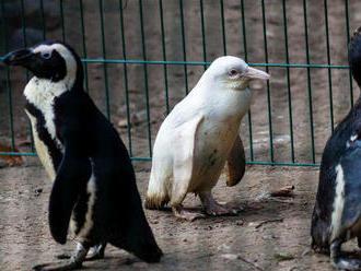 V Gdanskej zoo majú vzácneho tučniaka - albína