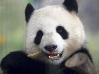 Dánska kráľovná Margaréta II. otvorí v zoo v Kodani nový pavilón pre pandy