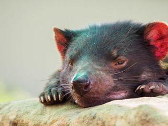Tasmánsky čert začal vzdorovať rakovine