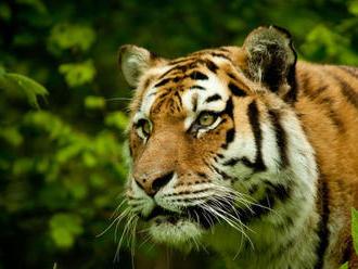 Tiger vraj už útočil. Majiteľ ranča pri Žiline mlčí