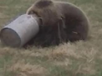 Medveďovi z Liptova uviazla hlava v kanve na mlieko: Po hore sa takto túlal niekoľko dní