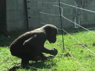 Nová atrakcia v holandskej ZOO: Šikovná gorila našla spôsob, ako prekonať elektrický plot