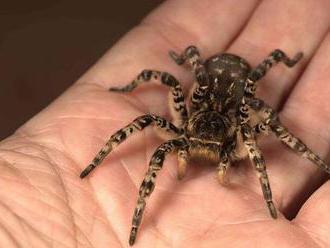 Zoo Praha vystavila slíďáka tatarského. Obřího pavouka našli na jižní Moravě