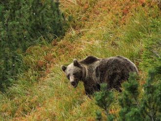 Pri Štiavnici strelil pytliak medveďa a nechal ho tam desať dní zomierať