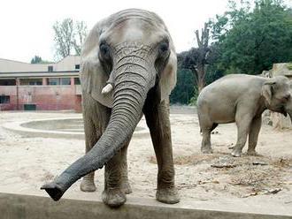 Pražská zoo se příští rok rozroste o dvě slůňata. Plánuje otevřít nový pavilon goril