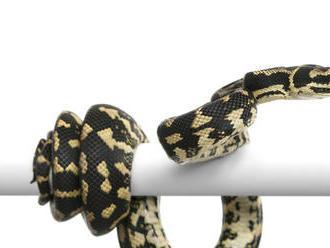 V meste Humpty Doo našli hada s tromi očami
