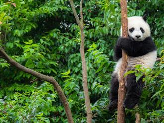 Čína chce rozoznávať pandie tváre cez aplikáciu
