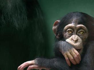 Vedci zachytili na video skupinu šimpanzov pojedajúcich korytnačky