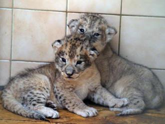 Liberecká zoo má dvě mláďata lvů berberských, jsou i ve výběhu