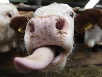 HASIČI V AKCII: Zachránili kravu, ktorá v Janíkoch uviazla v blate