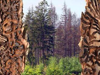Kůrovec a sucho mohou postihnout desetkrát větší plochu českých lesů než loni