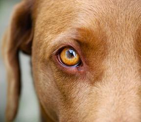 Psi umí manipulovat s lidmi a touží s nimi po komunikaci, zjistili vědci