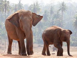 Slony možno dokážu nosom spoznať množstvo, zistili vedci