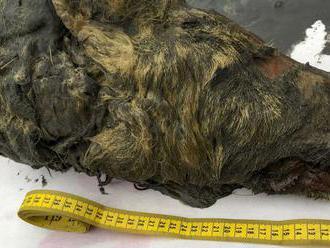 Vedci ukázali pravekého vlka. Hlava s neporušeným mozgom bola pod ľadom 40 tisíc rokov